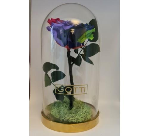 Trandafir criogenat Multicolor XXL Gotti